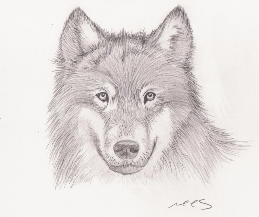 wolf drawing by mhylands on deviantart