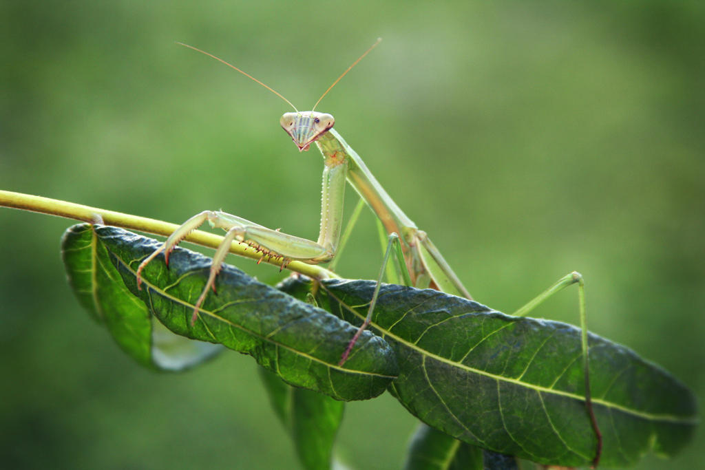 1000 Images About Praying Mantis On Pinterest Public