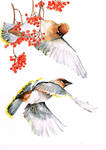 waxwings with roan-tree