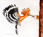 hoopoe in fly