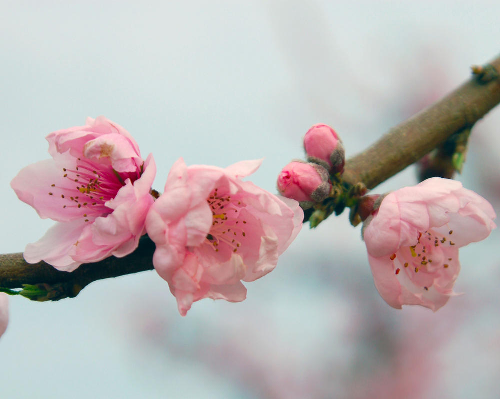 Three Blossoms by MaddyJordan