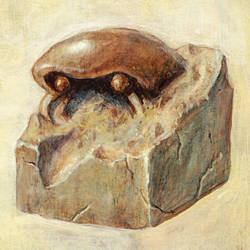 Kabuto Fossil