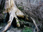 Tree Stump by DawnCR