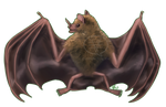 2020MMM - Seba's Short-tailed Bat by comixqueen