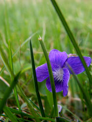 Violet in the Grass I