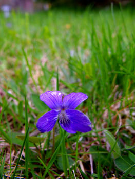 Violet in the Grass III
