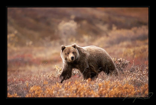 Grizzly Cub by tisbone