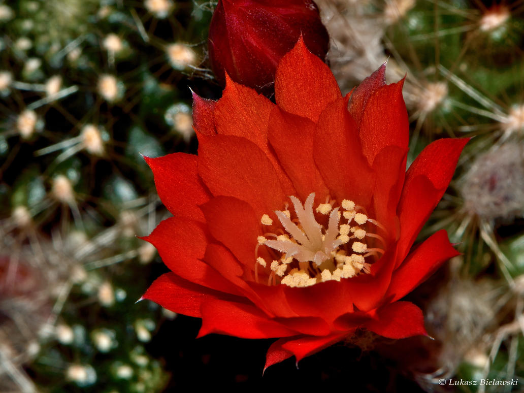 Red cactus flower by LukaszNature on DeviantArt