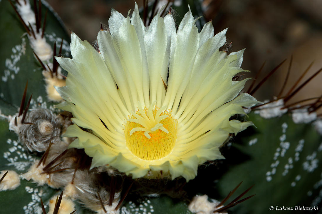 White Cactus Flower By Lukasznature On Deviantart