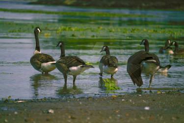 Geese, Port Ewen