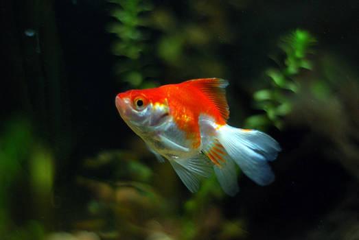 Red and White Ryukin