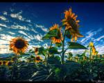 sonnenblume by stefansergio