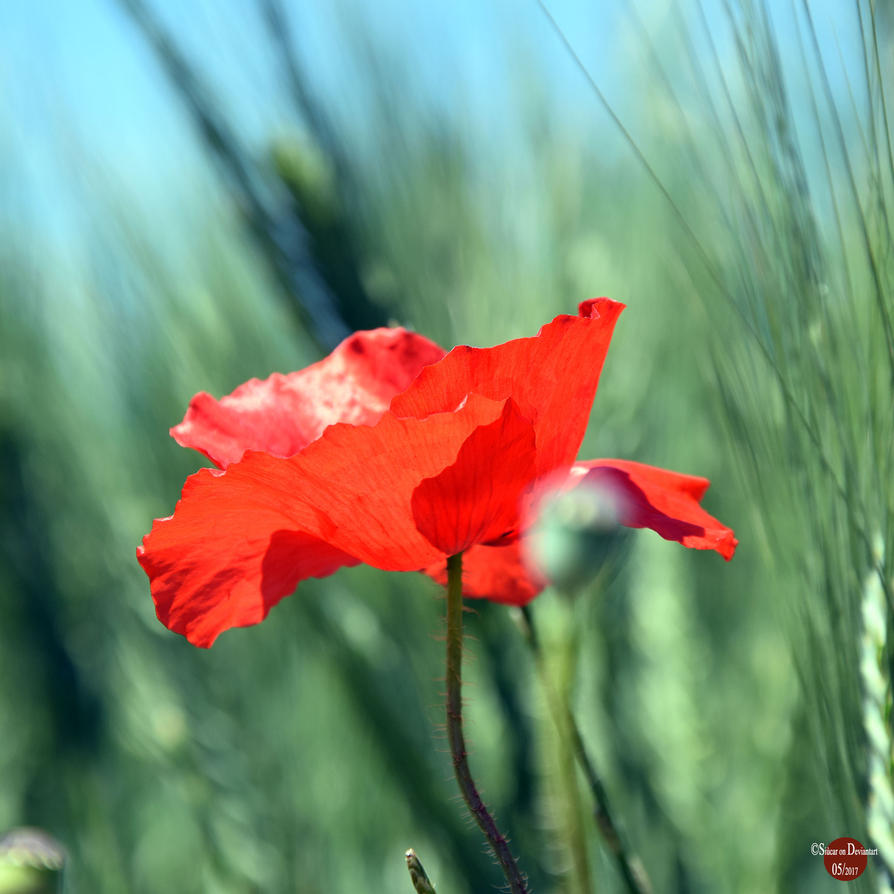 Poppies - Pt III by SIUCAR