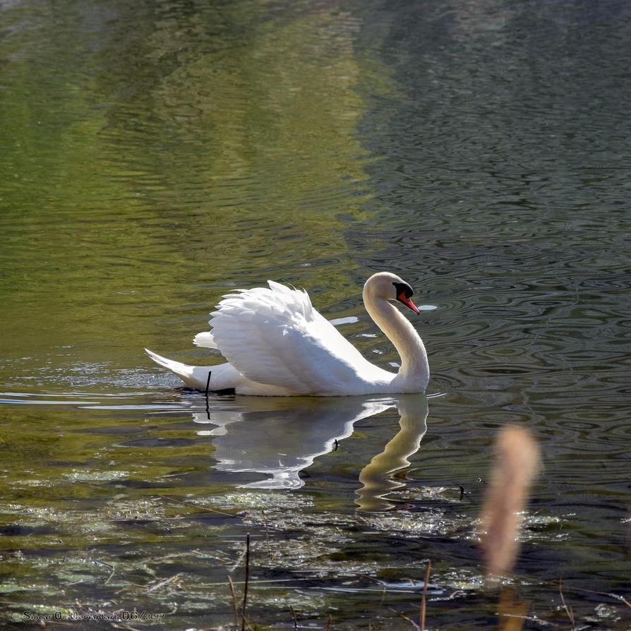 Swan by SIUCAR