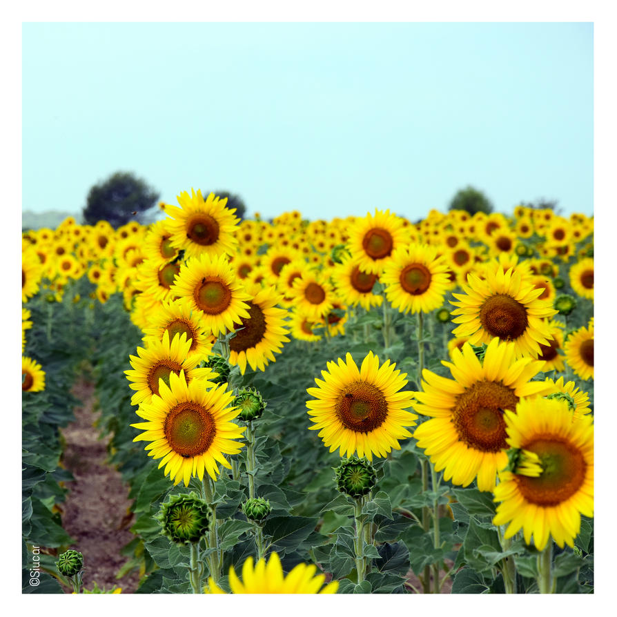 Sunflowers - Pt I by SIUCAR