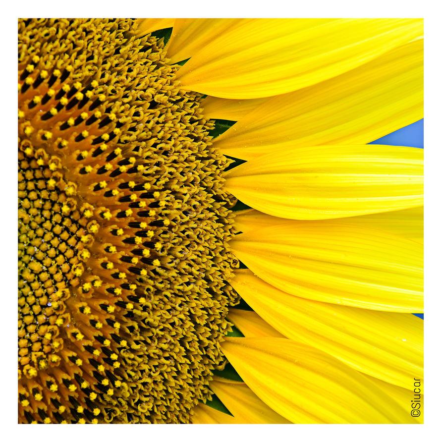 Sunflowers - Pt III by SIUCAR