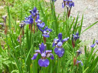 Purple Flowers by Sir-Real