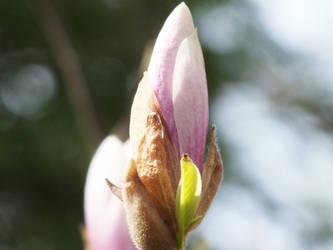 Magnolia Bud by Sir-Real