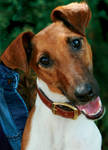 Smooth Fox Terrier - Firefly
