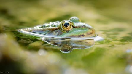 Frog by AdrianGoebel