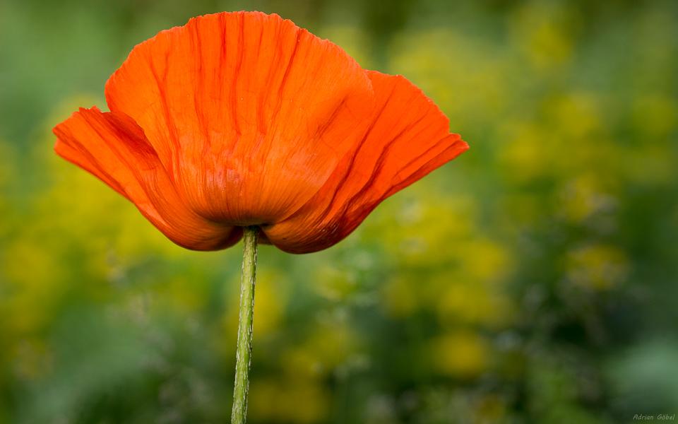 Poppy by AdrianGoebel