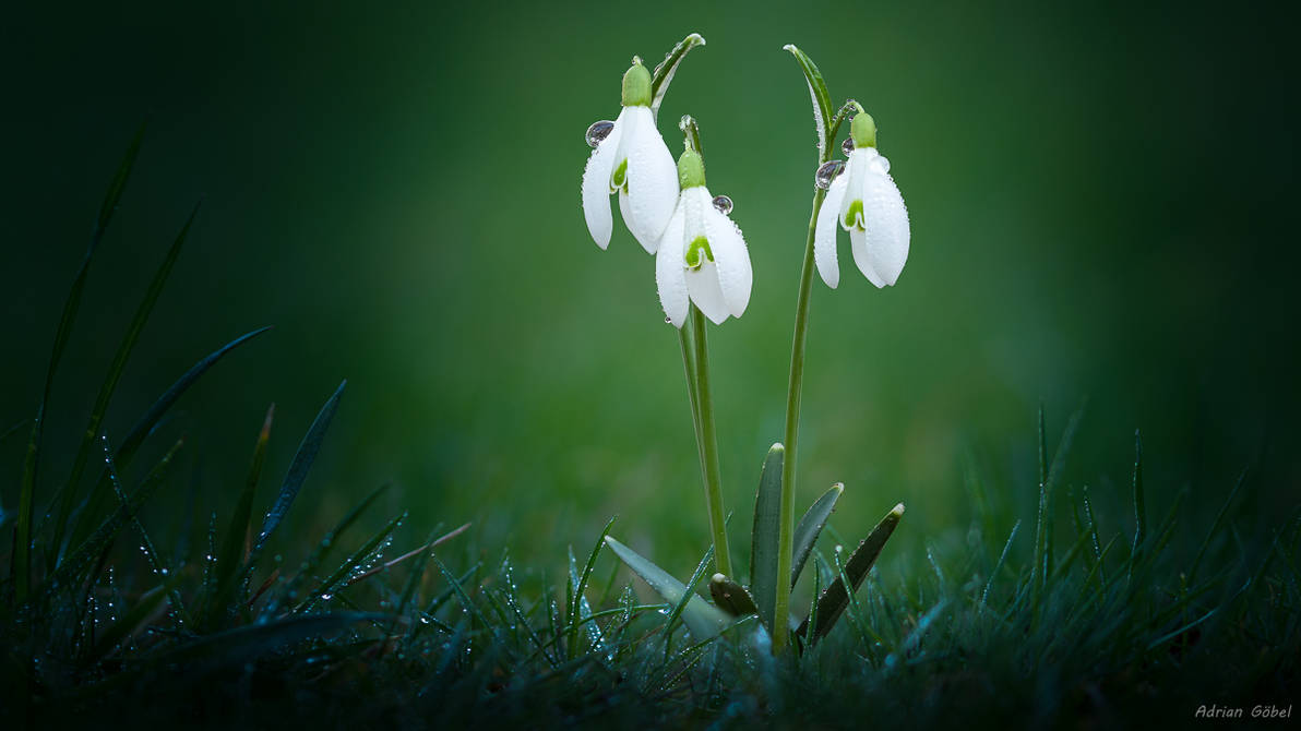 Snowdrops by AdrianGoebel