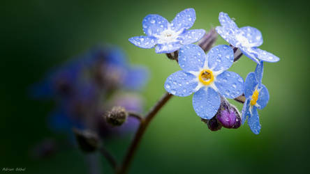Forget Me Not by AdrianGoebel
