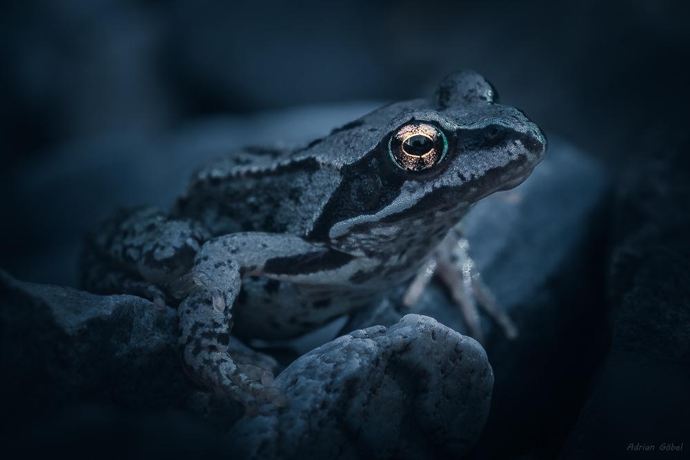 Baby Frog by AdrianGoebel