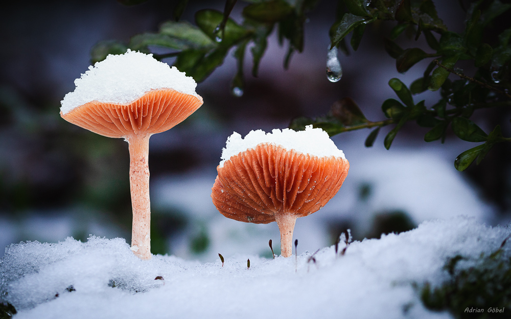 Winter Mushrooms by AdrianGoebel