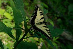 Butterfly by OraclePhoenix