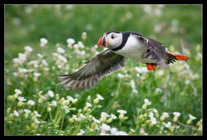 Percy the Puffin by MessiahKhan