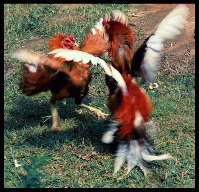 [Image: chicken_fight_by_weaZz.jpg]