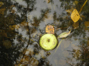 Apple in pond