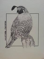 Valley quail - California