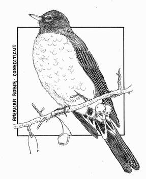 American Robin - Connecticut (B/W)