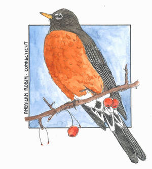 American Robin - Connecticut (Colour)