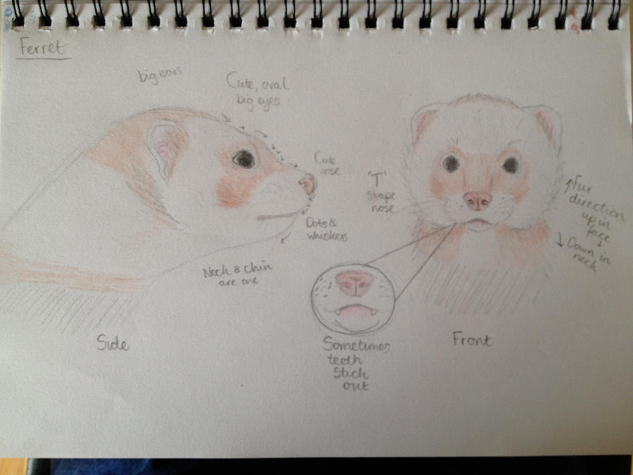 Ferret head drawing anatomy by Twizzabelle on DeviantArt