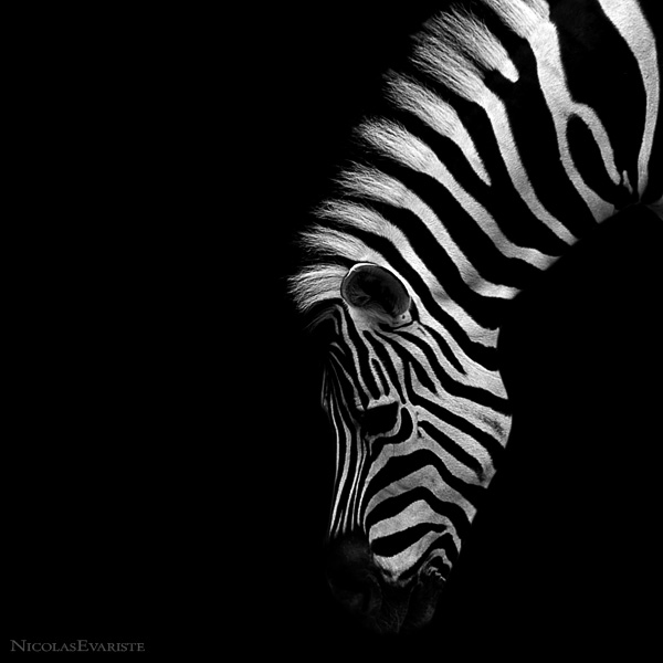 Zebra III by NicolasEvariste