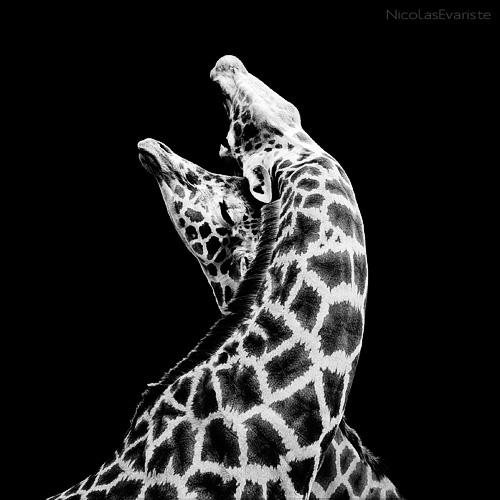 Giraffa - In Love by NicolasEvariste