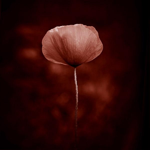 Poppy by NicolasEvariste