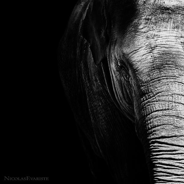 Elephas Maximus by NicolasEvariste