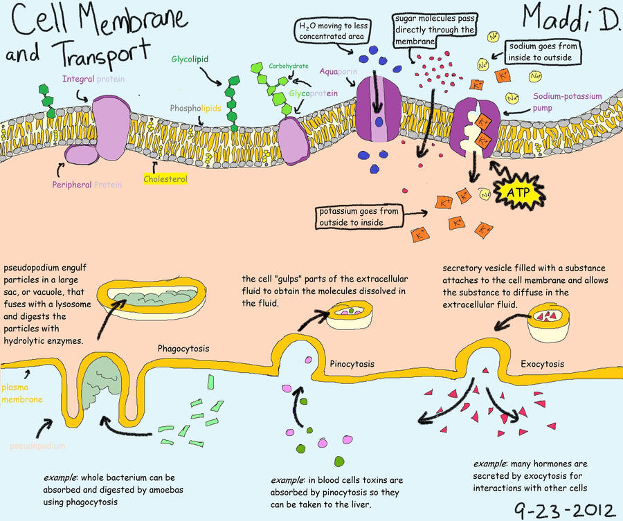 the cell membrane - essays The cell membrane is a biological membrane that separates the interior of all cells from the outside environment the cell membrane is selectively-permeable to ions and organic molecules and controls the movement of substances in and out of cells.