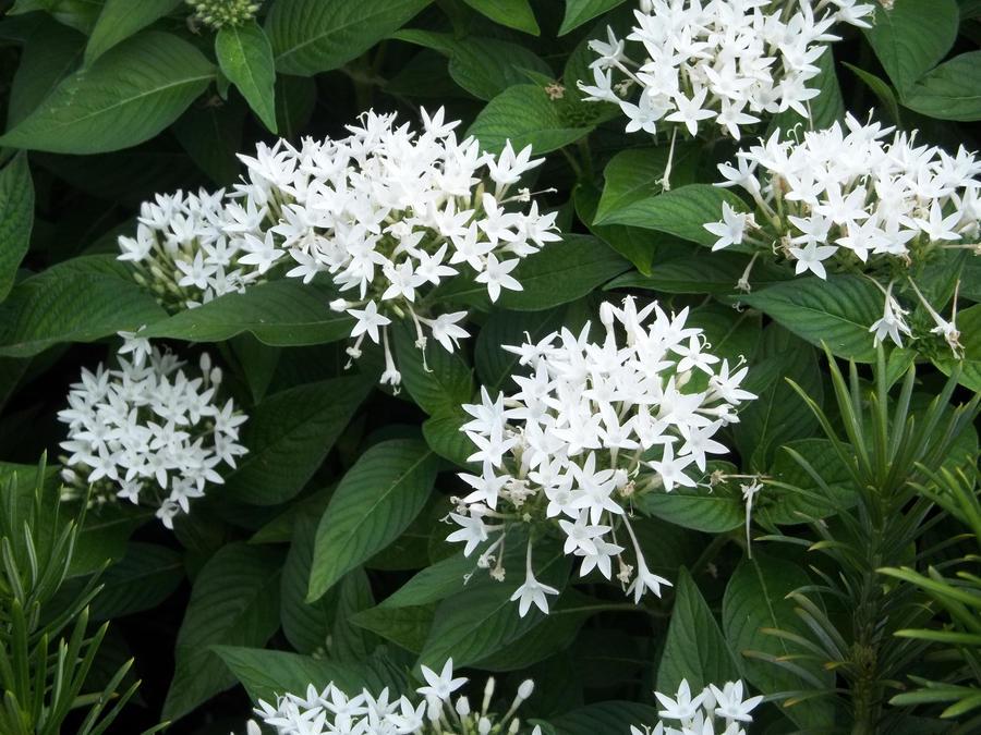 White Star Shaped Flowers By Missshadowwings On Deviantart