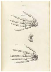 Vintage Human Skeletal 2