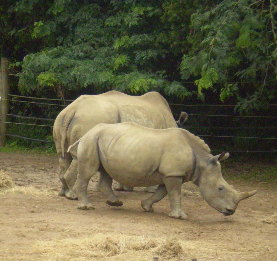 Rhino 4 of 6 by Bnspyrd
