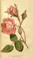 DarlingBudsOfMay-Rose Flwrs7 by Bnspyrd