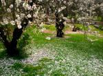 Cherry Blossom Grove 1