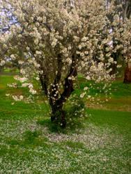 Cherry Blossom Grove 3 by Bnspyrd