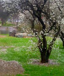 Cherry Blossom Grove 4 by Bnspyrd