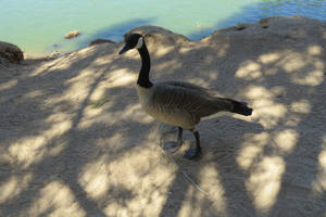 Goose Stock - 1 by CNLGraphics